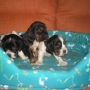 SE VENDEN COCKER SPANIEL INGLES
