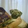 Vendo hermoso cachorro PUG de dos meses