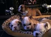 Hermosos cachorros bulldog inglé