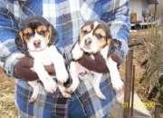 Cachorros de beagle,fdd