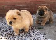 Grueso Chow Chow Cachorros.