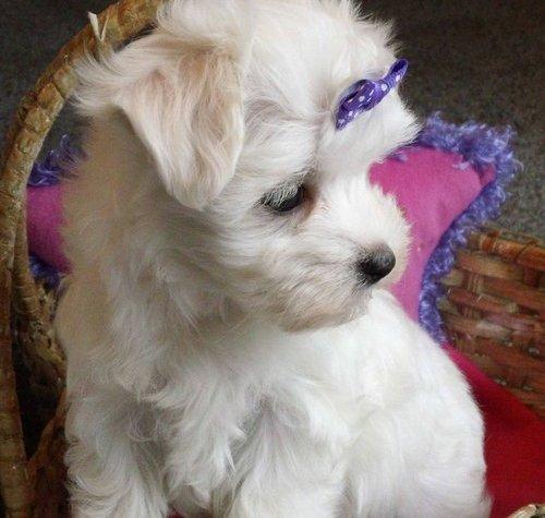 Bichon maltés cachorros (cariñoso y hermoso)
