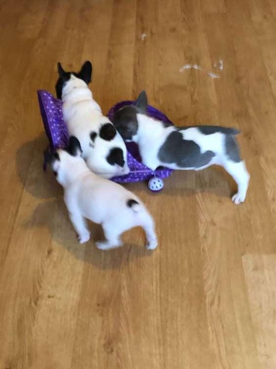 Cachorros de pura raza bulldog francés. cok