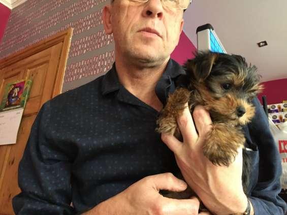 Regalo cachorros toy de yorkshire terrier **?n
