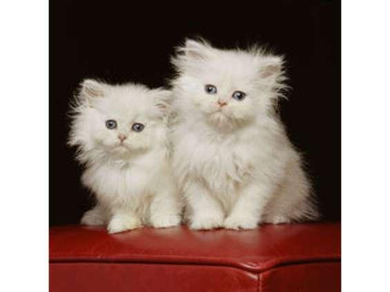Adorables gatitos persas para su aprobación