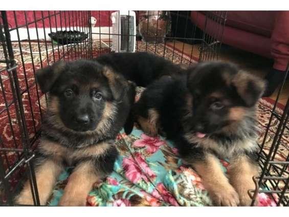 Cachorros de pastor alemán cachorros disponibles
