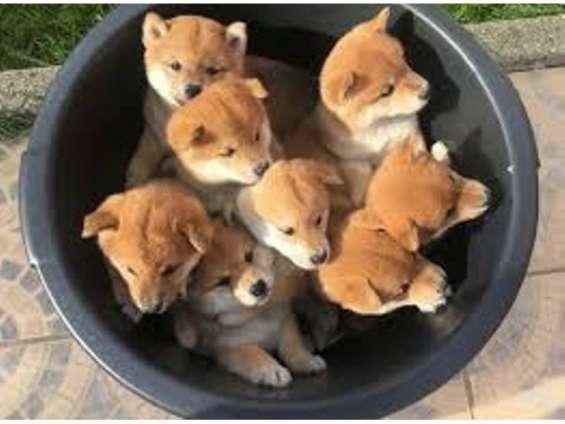 Regalo shiba inu cachorros